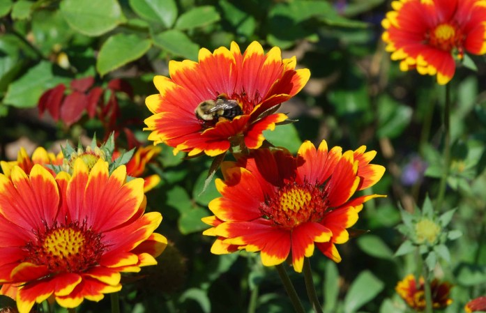 Gaillardia, the state wildflower of Oklahoma