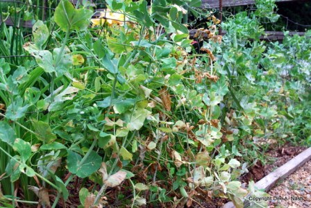 Pea vines past their prime