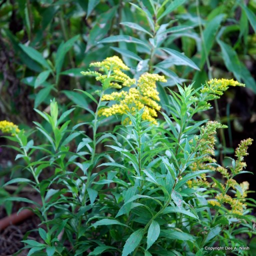 Solidago 'Baby Gold'