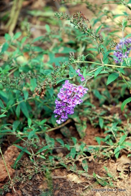 Buddeleia 'Nanho Purple'
