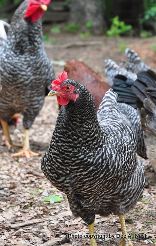 Barred Rock hen