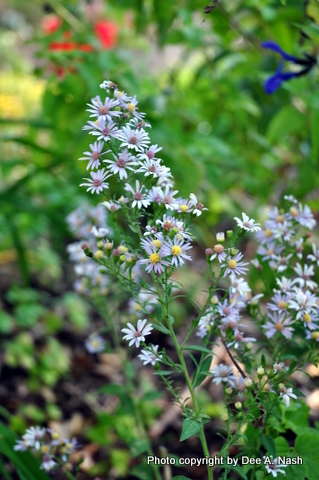 Symphyotrichum drummondii var. drummondii (Lindl.) or Drummond's aster
