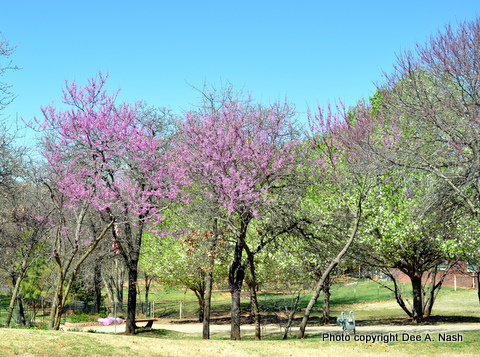 On a neighbor's property, these redbuds were thinned out of the Oklahoma scrub, and they are thriving.
