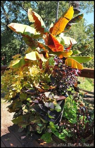 how to grow coleus as a tree