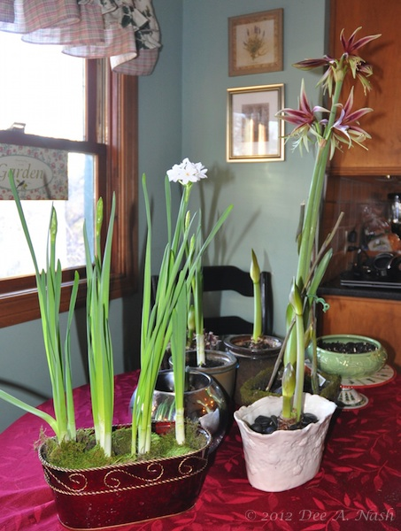 A collection of bulbs I'm coaxing to bloom indoors.