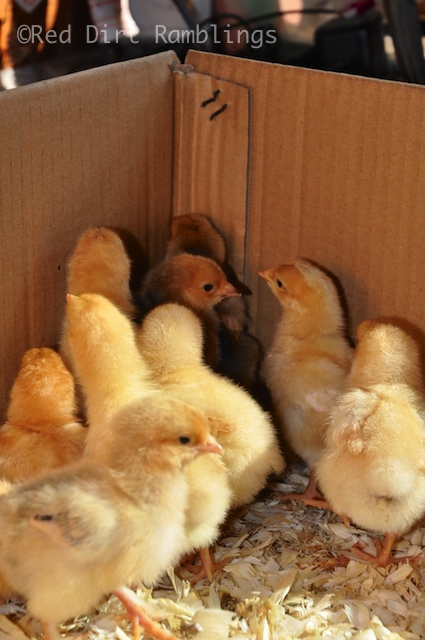 All of the baby chickens rush into the corner to be safe from predators. I have a camera, and I'm clicking their photos. They are scared.