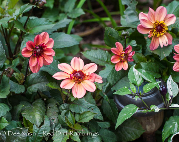 'Lo Lo' dahlia turns this color when it's cold. Many blooms are cold sensitive.
