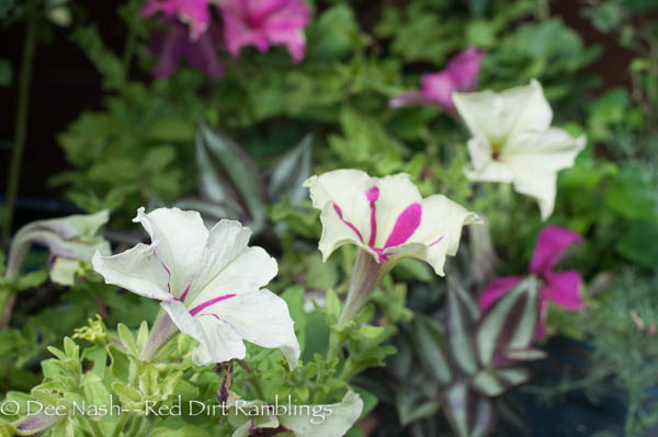 Petunia 'Fancy Dress' is one I found earlier this summer. I used it in the pot with my blueberry shrubs.