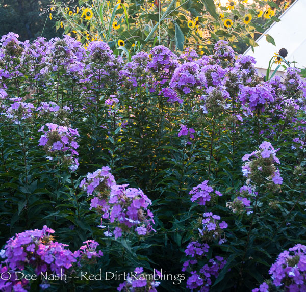 Heirloom Phlox paniculata