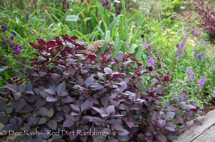 Alternanthera 'Little Ruby' simply glows with the berries from my purple Japanese beauty berry and the summer snapdragon behind.