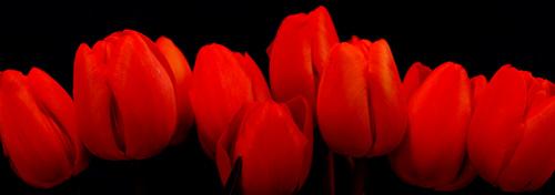 tulips_robert_crum