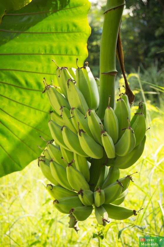 ..obok wejścia do pokoju rosły banany...