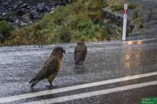 Alpejskim papugom Kea deszcz nie był straszny, czekały cierpliwie na najdjężdzające auta, żeby poskubać wycieraczki :)