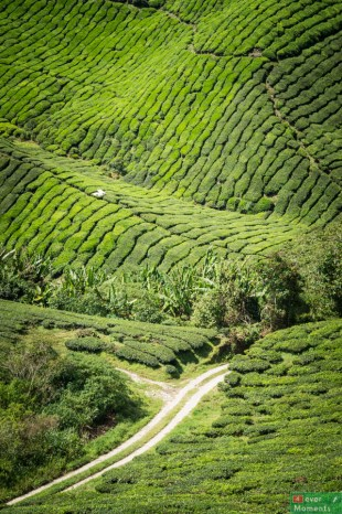 Cameron Highlands-38