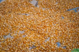 ...przy drodze suszy się kukurydza...