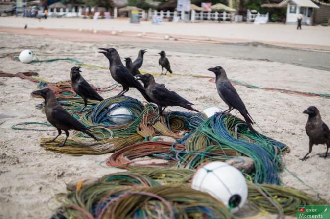 Na plaży zamiast mew, stada kruków