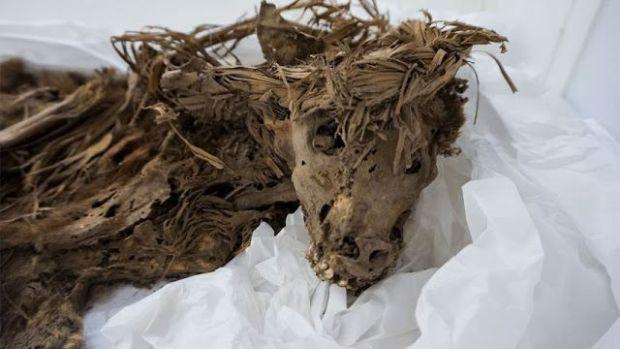 Los perros, de 1.000 años de antigüedad, estaban envueltos en telas y enterrados junto con una persona, probablemente como parte de un sacrificio.