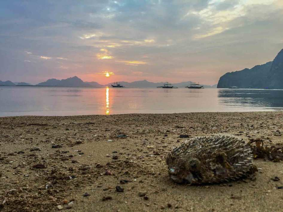 sunset-puffer-fish