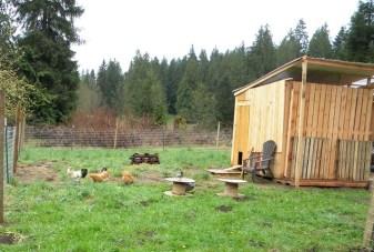 chickens in yard