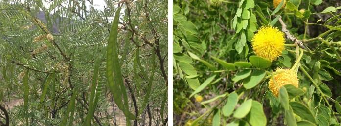 Left: Honey mesquite Prosopis glandulosa Right: Huisache Acacia farnesiana