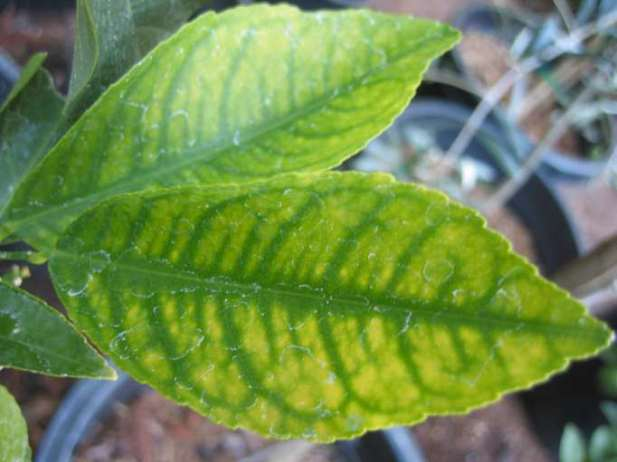 Deficiencia de hierro en citricos