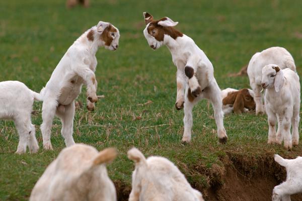 Cute Llama Wallpaper Desktop Goats Donald Reese Photography