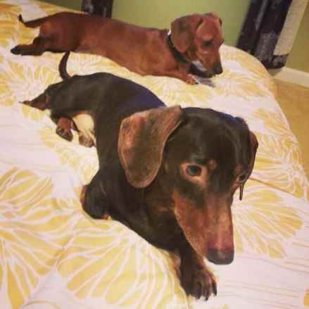 Syncronized Dachshunds!