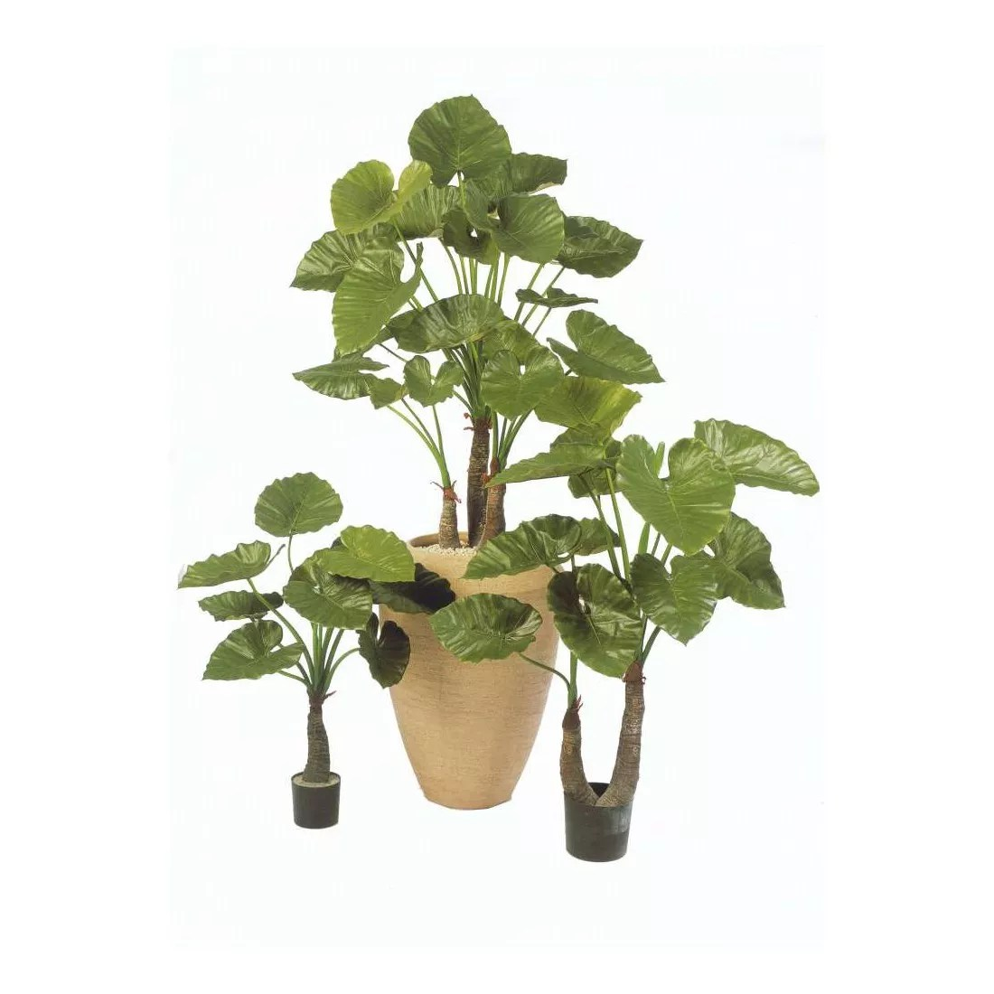 Plante Exterieur Exotique Arbre Exotique Exterieur Simple Arbre Chat Exotique With