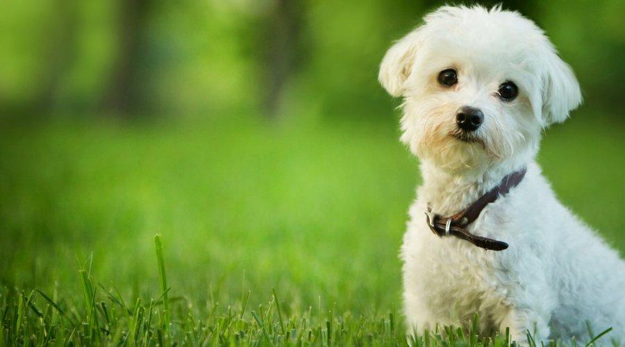 Por qué los perros más pequeños son más agresivos que los grandes