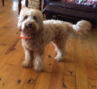 Bruno is a F1b Mini Goldendoodle owned by Safari Doodles