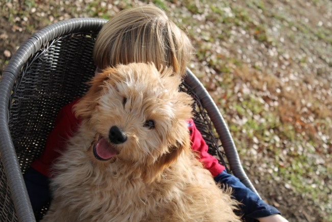 Kenzie, an F1 Mini Goldendoodle Puppy