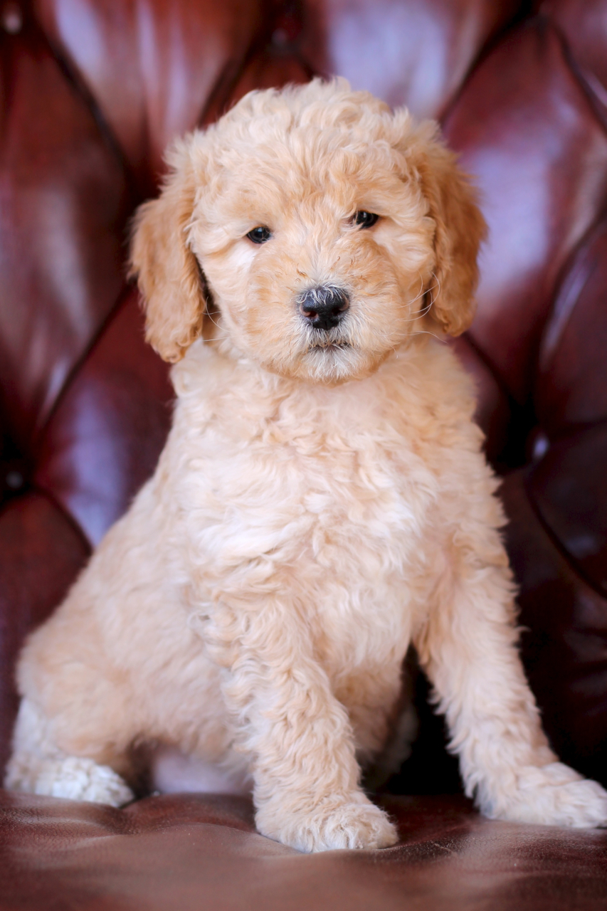 Leia, F1b Mini/Medium Goldendoodle at 8 weeks