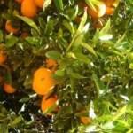 Mandarinas-02-300x167