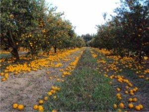 citrus31