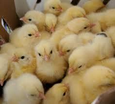 La Criolla: primera entrega de pollitos BB | La Region Digital