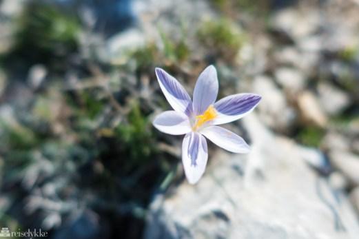Blomst i Serra de Tramuntana, Mallorca