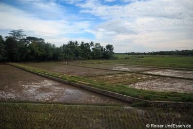 Blick auf Reisfelder