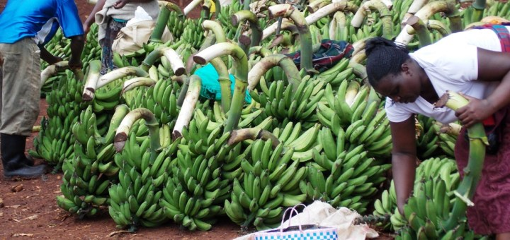 Farmers selling bananas at a market in Kisii County. Farmers are advised to embrace Genetically Modified Organisms (GMOs) to maximize productivity on their farms. [Photo: Courtesy]