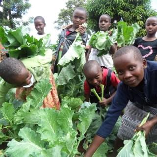 Children living at Huruma Children's Home in Nyeri harvesting kales in their farm. [ Picture: Waikwa Maina]