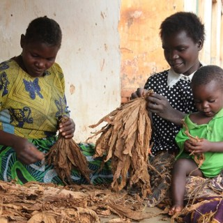 Women in Kasungu, a farming district in Central Malawi, select dried tobacco leaves to sell at the market.Tobacco farming is laborious and comes with many health risks yet the farmers are poorly paid as the companies make huge profits. [Picture: Courtesy ]