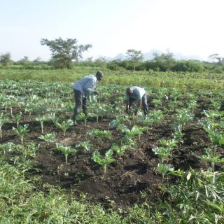 Harvest time: More Kenyans are now opting for health foods as seen in the farm. Photo: Robert Nyagah
