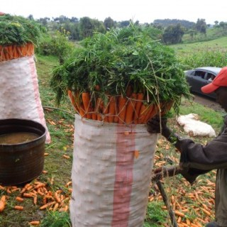 A farmer in Nyeri County prepares his carrots to be transported to the market.Residents of Nyeri County are blaming the county government for not engaging them when preparing the budget.Picture:David Mbewa