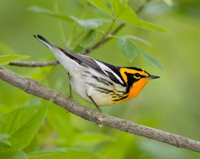 Warbler-Blackburnian