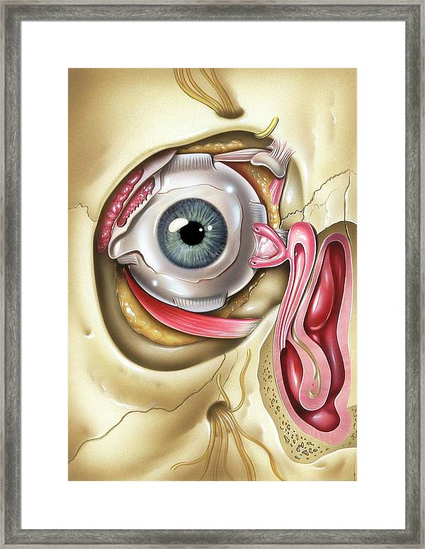 Lacrimal Apparatus Of The Eye Framed Print by John Bavosi