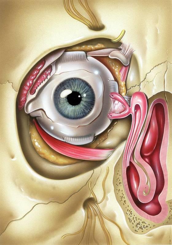 Lacrimal Apparatus Of The Eye Poster by John Bavosi