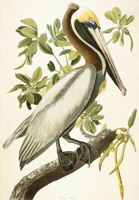 Iphone X Frame Wallpaper Brown Pelican Art Print By John James Audubon