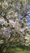 Crab apple blossoms blooming at our 100 year old farm house in northern minnesota.