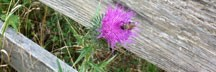 cropped-thistle-and-fence.jpg