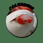 Colubrid-Circle