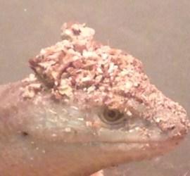 Giant Glass Lizard P. apodus